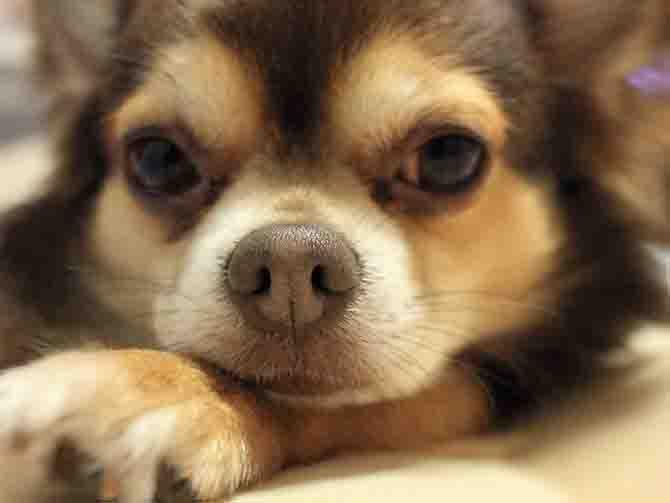 チワワは小型犬で狭い部屋でも飼うことができます。